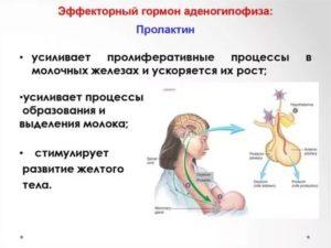 Щитовидная железа пролактин