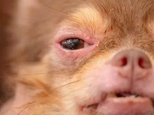 Аллергия на чихуахуа