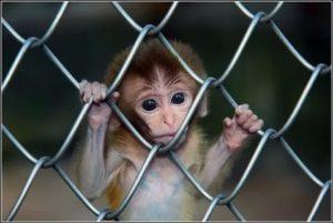 Царапина обезьяны