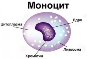 Повышены моноциты% у ребенка 12 лет. Моноцитоз?